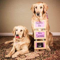 pregnancy announcements with dogs announcements on pregnancy announcements baby announcements and pregnancy