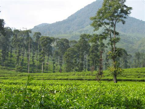 Teh Desa Jawa kebun teh pagilaran wisatasemarang