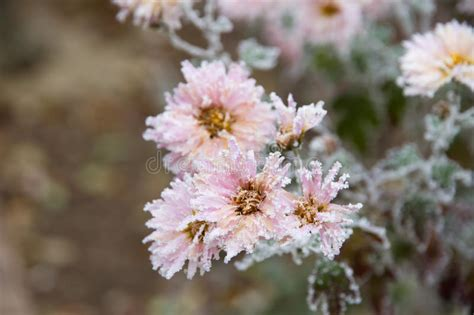 Frozen Pink Flower frozen flower stock photo image of season plant