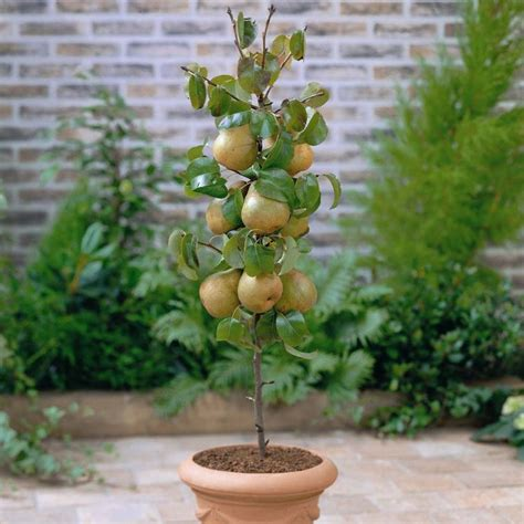 sales on trees m 225 s de 25 ideas fant 225 sticas sobre 193 rbol de aguacate en