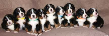 Bernese mountain dog puppies dog training utah wasatch canine camp