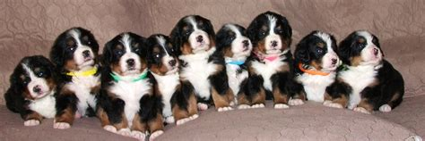 bernese mountain puppy bernese mountain puppies utah wasatch canine c