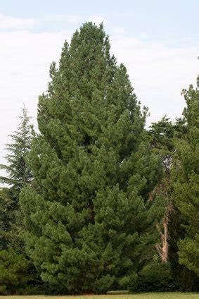 grandinroad noblis fir tree for sale pine trees for sale evergreen trees for sale conifer seedlings for sale