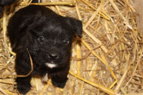 patterdale terrier puppies for sale patterdale terrier puppies for sale radstock somerset pets4homes