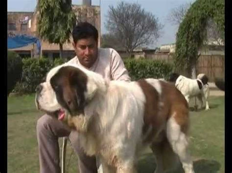 Small Dogs For Home In India Bernard Mastiff Dogs Puppies For Sale Variety
