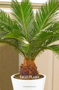 feeding sago palms tips  fertilizing  sago palm plant