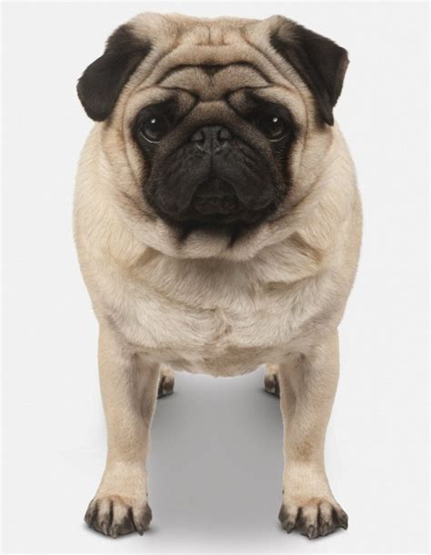 buying pugs why you shouldn t buy bulldogs or pugs as a present metro news