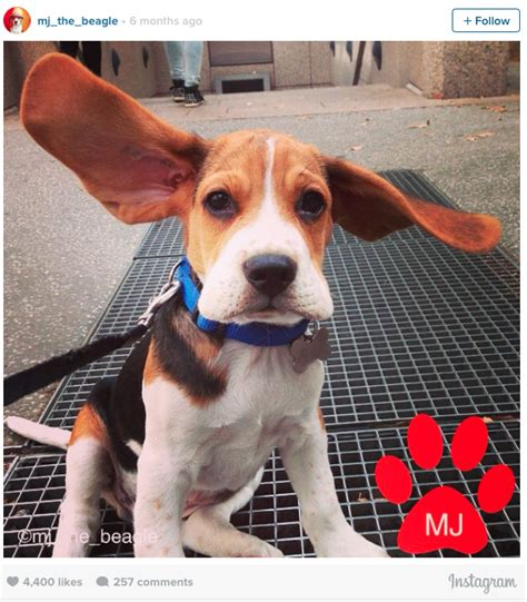 my puppy wont eat but will drink water adorable 9 puppies with oversized ears will make you smile