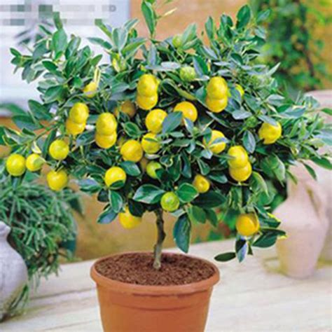 fruit trees indoors 10pcs lemon tree indoor outdoor available heirloom