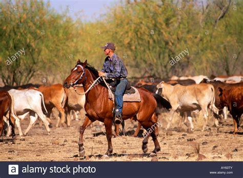 australian cattle cowboys northern territory australia mustering cattle with a