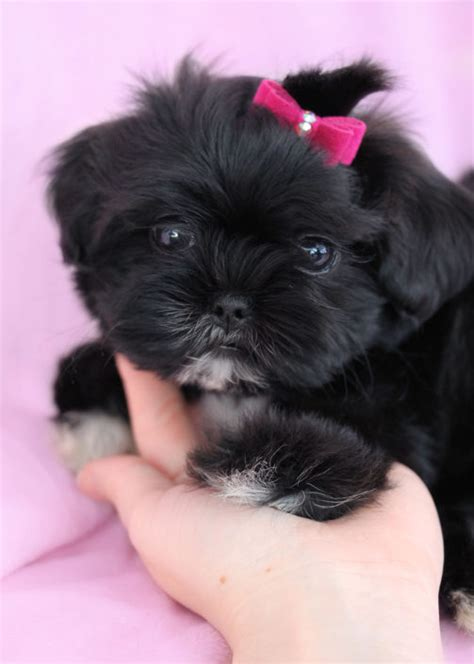 shih tzu puppies idaho imperial shih tzu puppies for sale by teacups puppies boutique teacups puppies