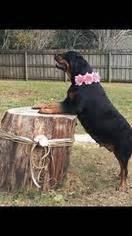 rottweiler puppies gainesville fl view ad rottweiler puppy for sale florida gainesville usa