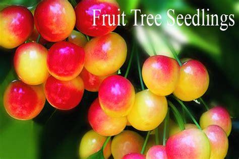 fruit tree seedlings willamette nurseries rootstock clonal seedling fruit tree