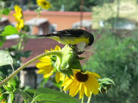 do birds eat sunflower seeds