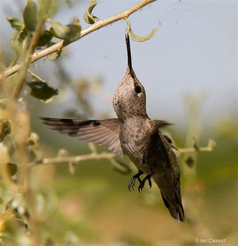 top 28 do hummingbirds eat bugs image gallery