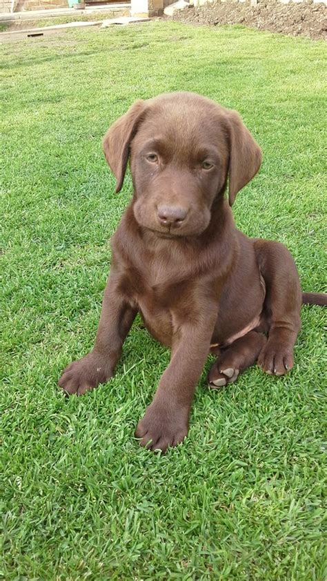 chocolate labrador puppies for sale adorable chocolate labrador puppies for sale sheffield south pets4homes