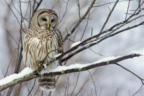 Branch Home Decor by Owl On A Snowy Branch Photograph By Michel Soucy