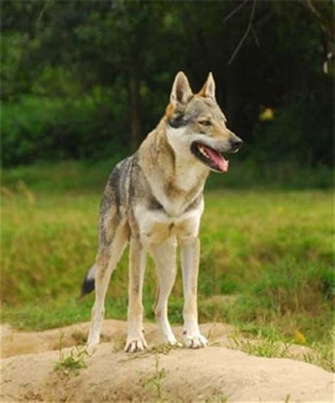 czechoslovakian wolfdog puppies for sale czechoslovakian wolfdog puppies breeders wolfdogs
