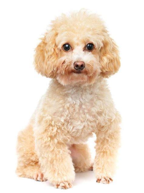 popular poodle names poodle names and unique poodle puppy names