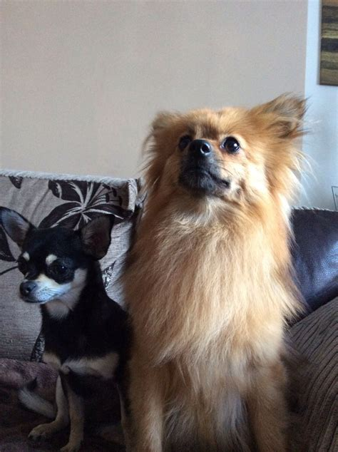 chihuahua cross pomeranian haired chihuahua cross pomeranian pomchi ashington northumberland pets4homes