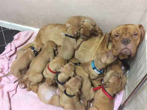 bordeaux puppies de bordeaux puppies for sale west midlands breeds picture
