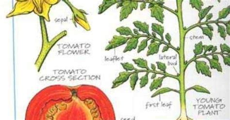 diagram of a tomato plant showing gallery for tomato plant diagram garden