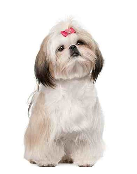 shih tzu hair types shih tzu breed small petmania