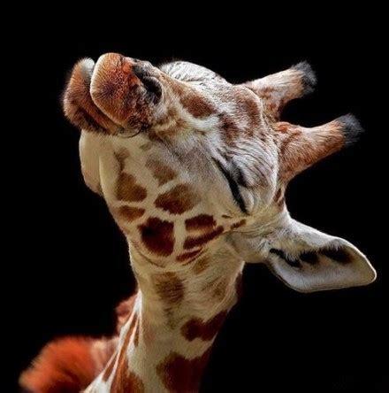 jirafas imagenes graciosas jirafas graciosas imagui