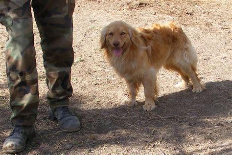 75 golden retriever 25 poodle grandparent dogs