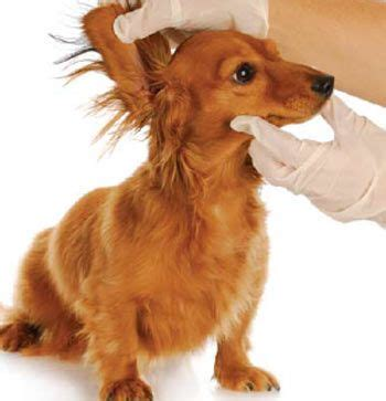 yorkie ear infection 17 best images about dogs vs children on puppys houses and yorkies