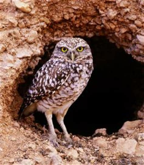 burrowing owl facts where do burrowing owls live what