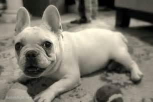 Bulldog franc 233 s razas perros molosoides mascotas
