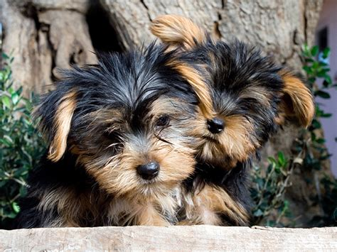 yorkie colorado yorkie puppies petzlover