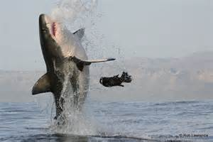 Find Great Where Can You Find Great White Sharks