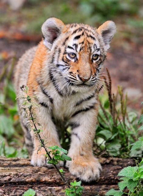 tiger denmark meet denmark s newest tiger cub zooborns