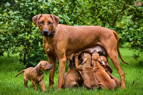 rhodesian ridgeback puppy cost rhodesian ridgeback breed information buying advice photos and facts pets4homes