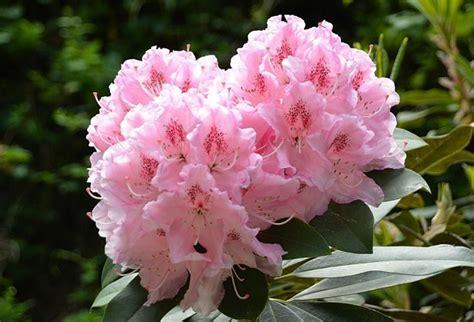 fiori di rododendro rododendro pianta coltivazione e fioritura idee green