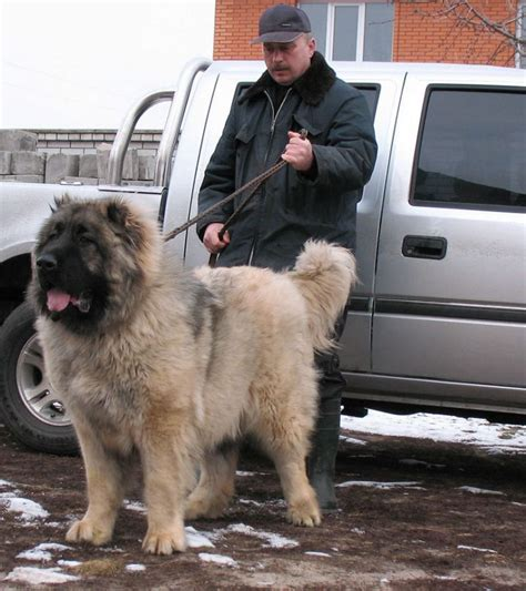 russian prison dogs russian prison guard dogs and the caucasion ovcharka