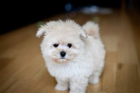 pomeranian maltese puppies maltipom puppy