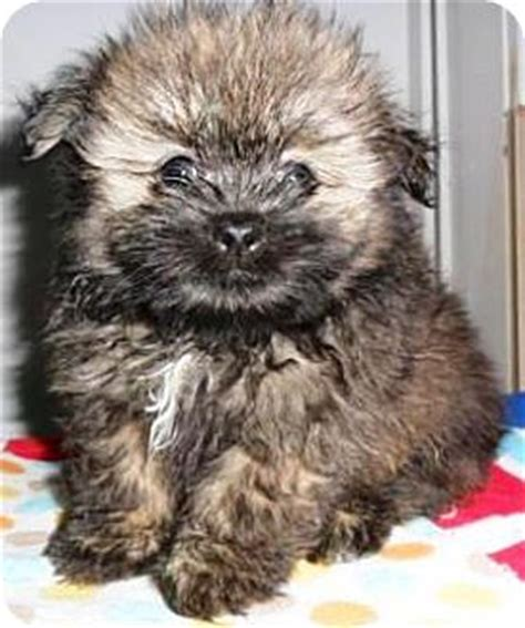 pomeranian lhasa apso mix reece adopted puppy bartonsville pa pomeranian lhasa apso mix