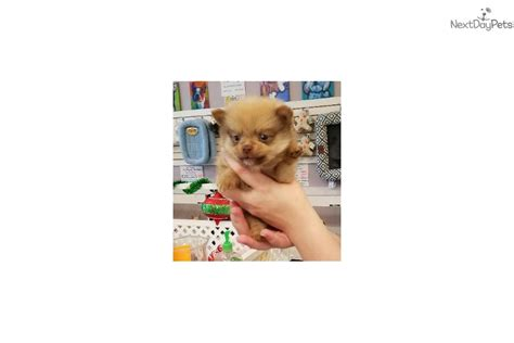 puppies for sale in mobile al poms pomeranian puppy for sale near mobile alabama