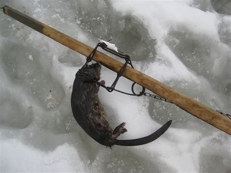 Sho Muskrat trapping today