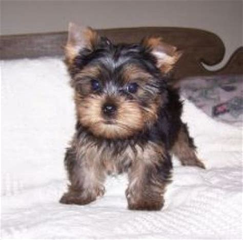 yorkie puppies for free talented tea cup yorkie puppies for free homes cork dogs for sale puppies