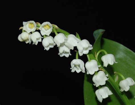 Muguet Fleurs Images by Pin Fleurs Muguet On