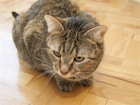 tabby cat colors 5 ways to identify a tabby cat wikihow