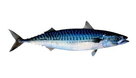 escuela de pescado 8415785712 caballa escuela de pescado