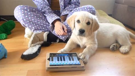 11 week puppy 11 week golden retriever puppy plays piano and sings a s