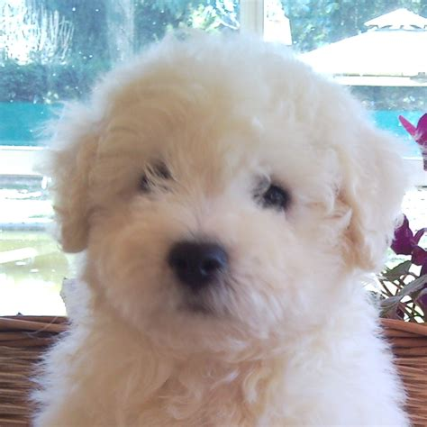 golden retriever bichon frise mix the gallery for gt golden retriever bichon mix
