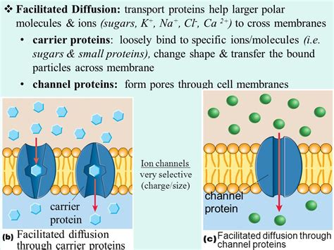 a protein channel is a transport protein that cell membrane structure and function ppt