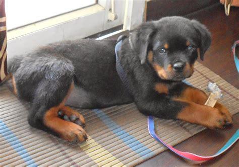 12 week rottweiler puppy leo the rottweiler 9 week rottweiler puppy day 63